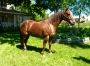 Newton, American Quarter Horse Gelding for sale in Montana