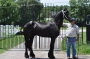 Angelo, Friesian Stallion at Stud in South Carolina