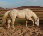 Gold Fame N Fortune, 16.1 Cremello, Barrel/Race bred stallion, Guaranteed Colored Foals, American Quarter Horse Stallion at Stud in Oklahoma