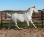 Silverado Rein, ApHC, Homozygous for Black and LP. EEaaLPLP, Guaranteed Colored Foals!, Appaloosa Stallion at Stud in Oklahoma