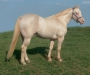 Mr Poco Jessie Tivio, AQHA/APHA Perlino, EEAACRCR, 5 pan NN, Guaranteed Buckskin Foals!, American Quarter Horse Stallion at Stud in Oklahoma