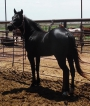 Speedy Lil Cowboy, Homozygous Black, EEaa, Driftwood and Cow bred, American Quarter Horse Stallion at Stud in Oklahoma