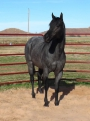 Dash For Cash N Blue, Blue Roan grandson of Dash For Cash, American Quarter Horse Stallion at Stud in Oklahoma