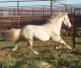 Show Me The Magic, Perlino, Welsh Cross Pony IQPA stallion, Quarter Pony Stallion at Stud in Oklahoma