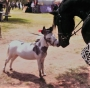 Tyrion, Donkey Jack at Stud in California