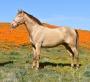 Savino PM, Andalusian Stallion at Stud in California