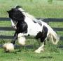Lazarus , Gypsy Vanner Stallion at Stud in Minnesota