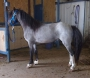 Little Boy Blue, 7/8ths Welsh Pony, Blue Roan, Homozygous Black, guaranteed Colored Foals, Welsh Pony Stallion at Stud in Oklahoma