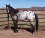 IVORY KING ApHC Race Champion. Future Fortunes Barrel stallion, Okla. Bred, Appaloosa Stallion at Stud in Oklahoma