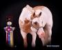 HH Jetalito Gold Bar, Pinto Stallion at Stud in Oklahoma