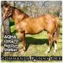 Commanda Funny Dee, American Quarter Horse Stallion at Stud in Texas
