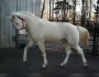 Homozygous Tobiano Homozygous Cream EeAaTTCrCr Natural Racking Saddle Gait + Sweet, Tennessee Walking Horses Stallion at Stud in Tennessee