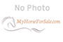appy Morgan Qrt Pony, Appaloosa Gelding for sale in Massachusetts