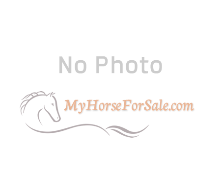 Joker (I Lost a Sock), Quarter Horse Cross Gelding for sale in Missouri